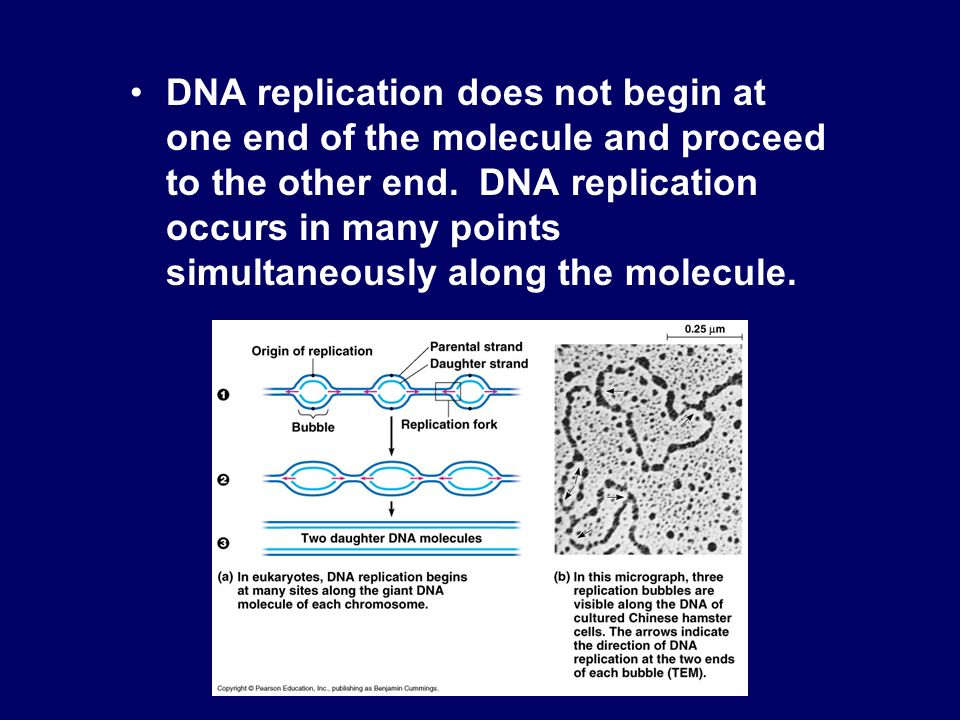 DNA replication does not begin at one end of the molecule and proceed to the other end.