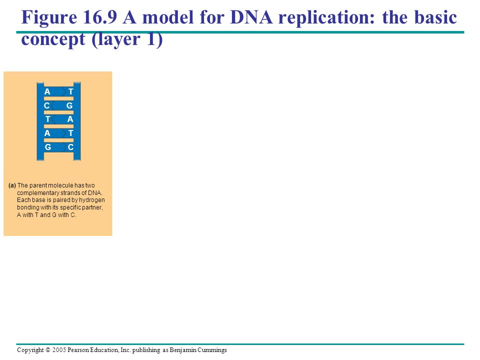 Figure 16.9 A model for DNA replication: the basic concept (layer 1)