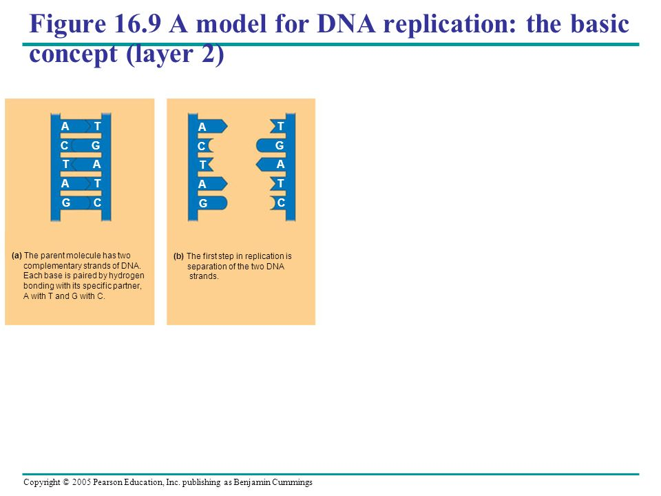 Figure 16.9 A model for DNA replication: the basic concept (layer 2)