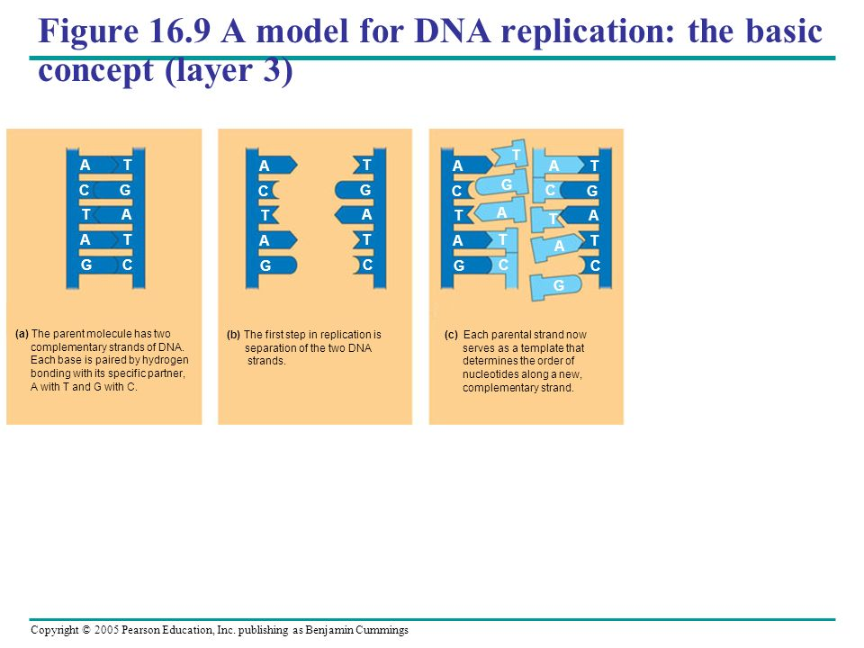 Figure 16.9 A model for DNA replication: the basic concept (layer 3)