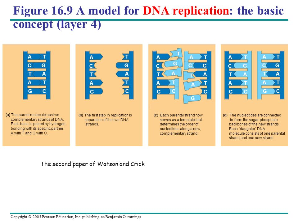 Figure 16.9 A model for DNA replication: the basic concept (layer 4)