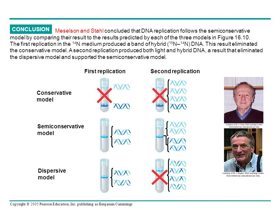 CONCLUSION Meselson and Stahl concluded that DNA replication follows the semiconservative.