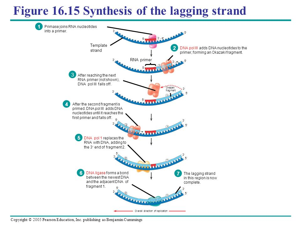 Figure 16.15 Synthesis of the lagging strand