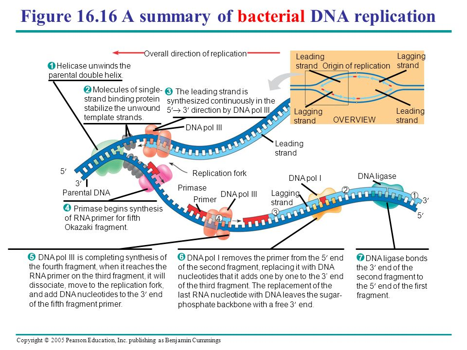 Figure 16.16 A summary of bacterial DNA replication