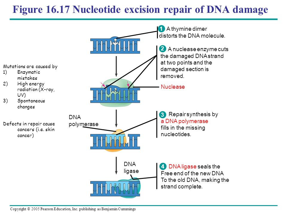 Figure Nucleotide excision repair of DNA damage