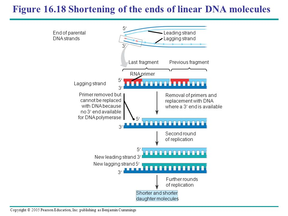 Figure 16.18 Shortening of the ends of linear DNA molecules