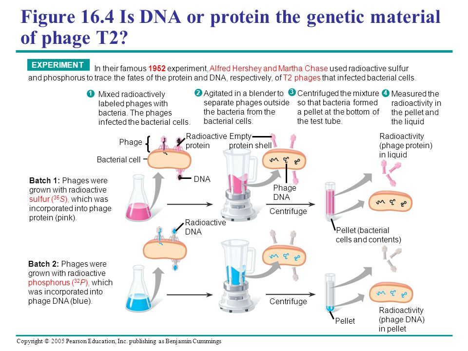 Figure 16.4 Is DNA or protein the genetic material of phage T2