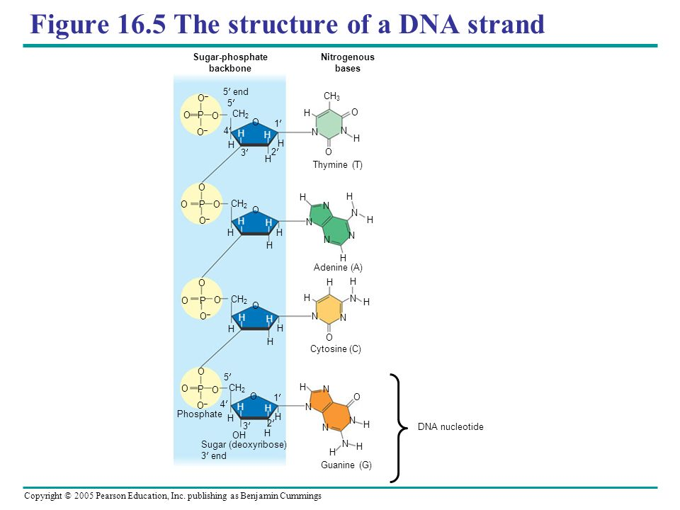 Figure 16.5 The structure of a DNA strand