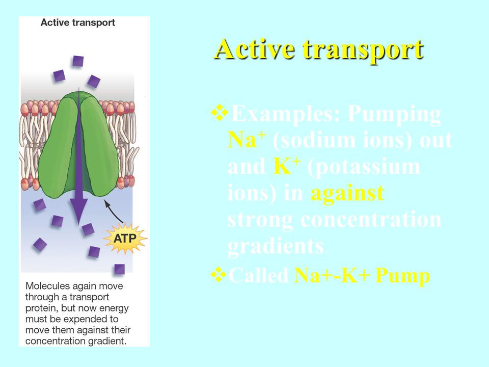 Active transport Examples: Pumping Na+ (sodium ions) out and K+ (potassium ions) in against strong concentration gradients.