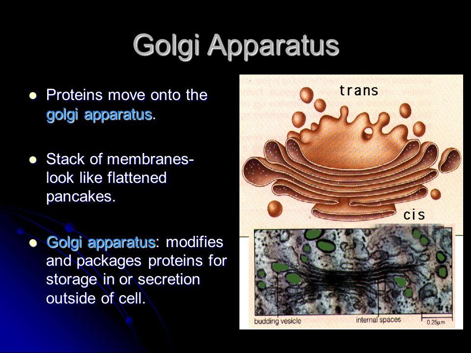 Golgi Apparatus Proteins move onto the golgi apparatus.