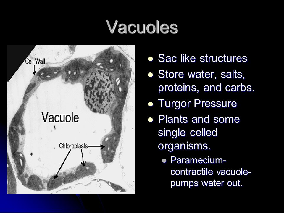 Vacuoles Sac like structures Store water, salts, proteins, and carbs.