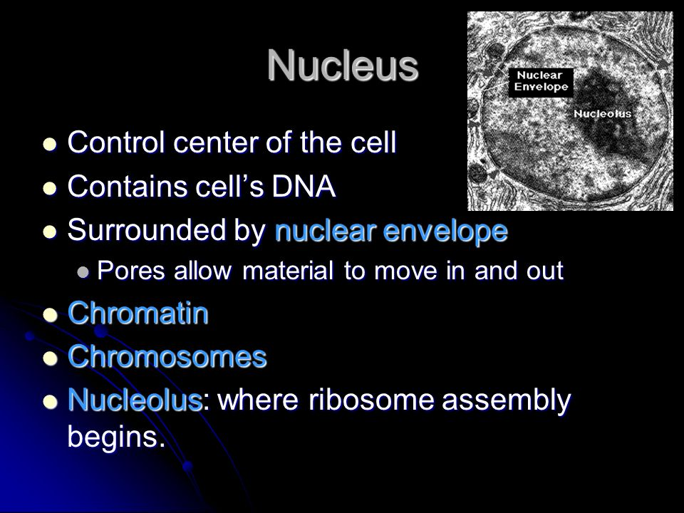 Nucleus Control center of the cell Contains cell's DNA