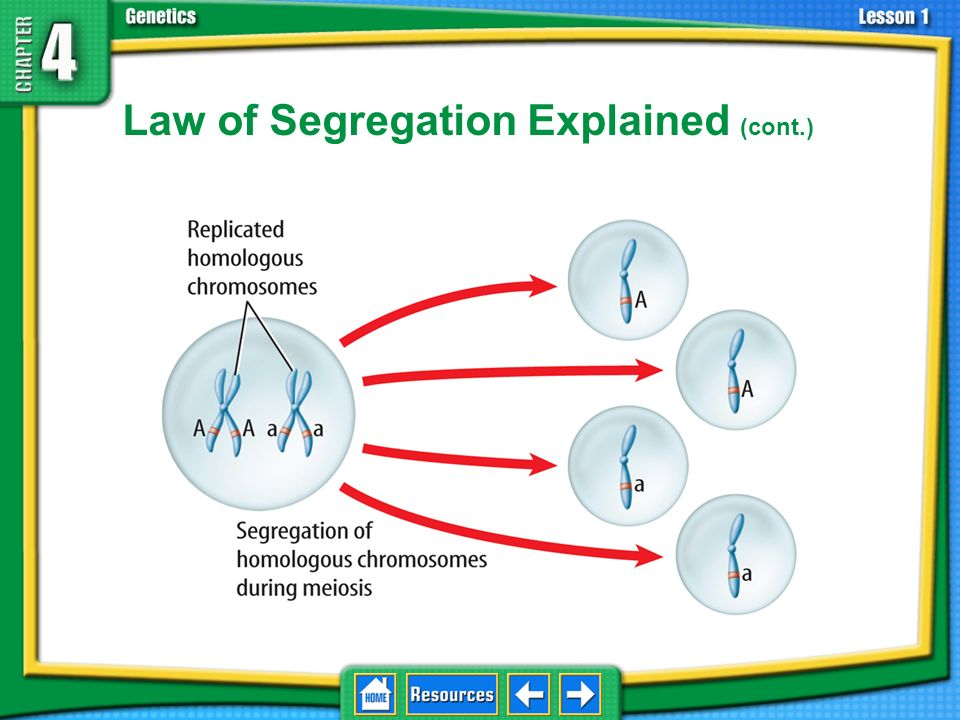 Law of Segregation Explained (cont.)