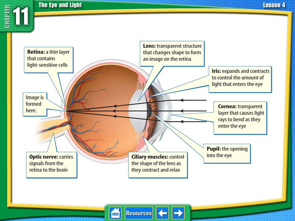 11.4 The Eye and Vision Cornea