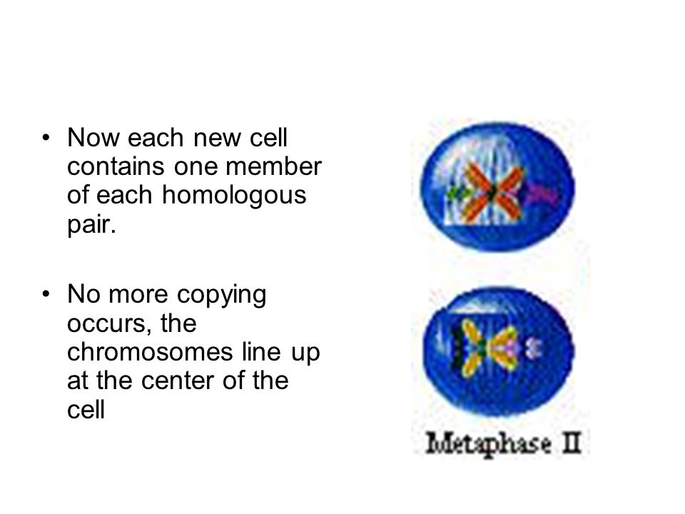 Now each new cell contains one member of each homologous pair.