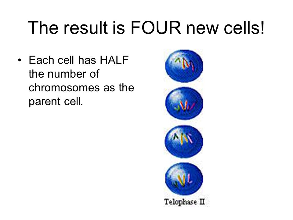 The result is FOUR new cells!