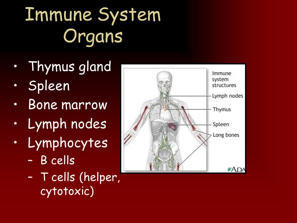 Immune System Organs Thymus gland Spleen Bone marrow Lymph nodes
