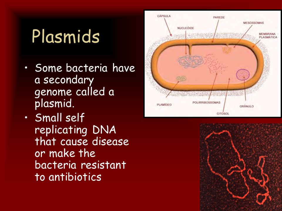 Plasmids Some bacteria have a secondary genome called a plasmid.