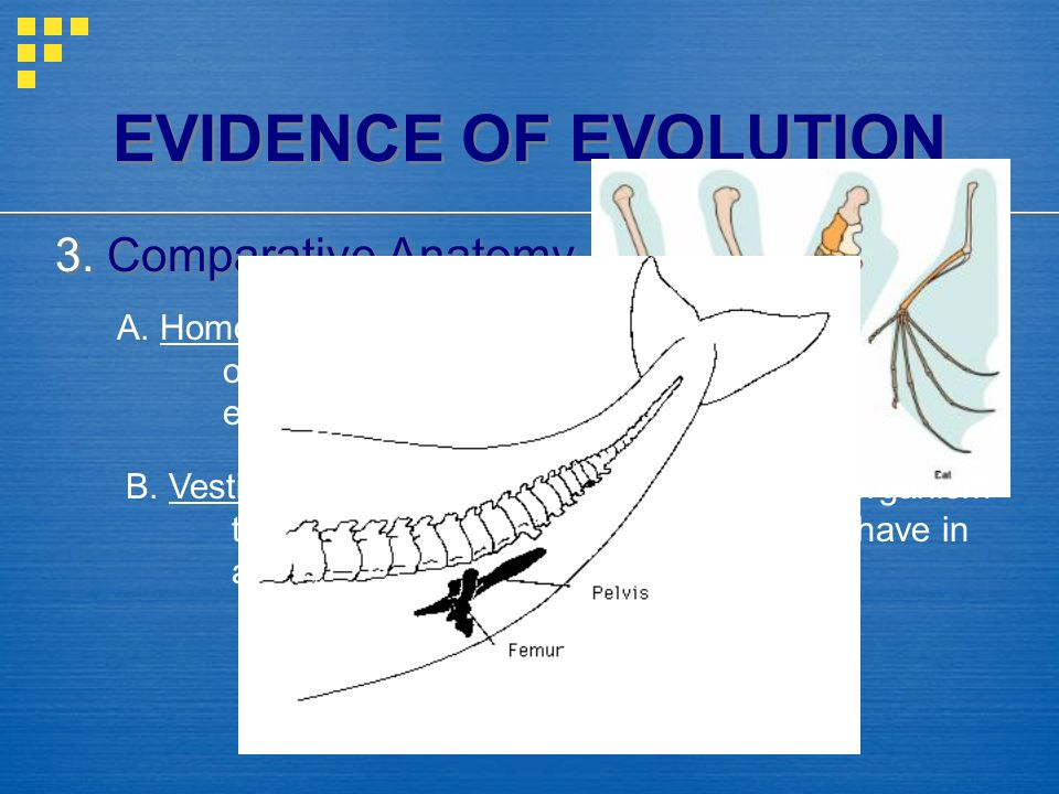EVIDENCE OF EVOLUTION 3. Comparative Anatomy