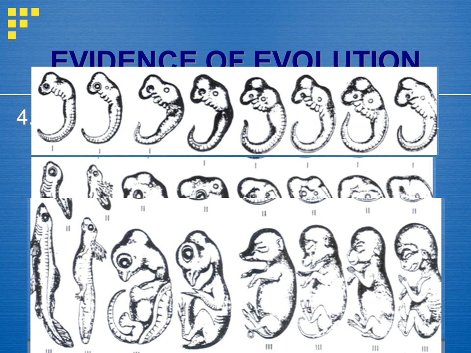 EVIDENCE OF EVOLUTION 4. Embryos = all vertebrates look similar as embryos - suggests all related