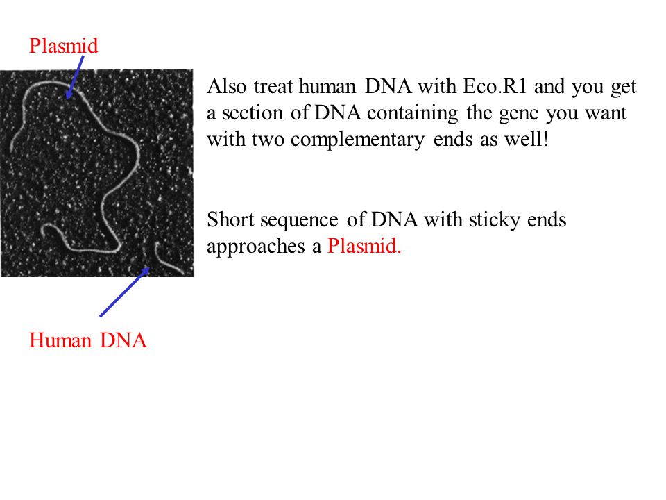 Plasmid Also treat human DNA with Eco.R1 and you get a section of DNA containing the gene you want with two complementary ends as well!