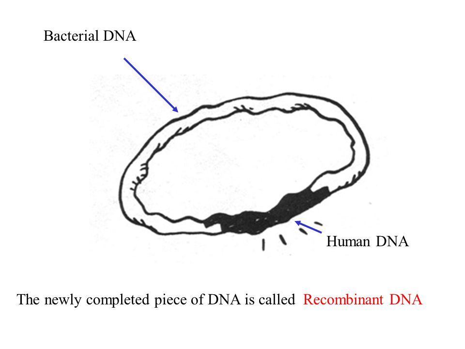 Bacterial DNA Human DNA The newly completed piece of DNA is called Recombinant DNA