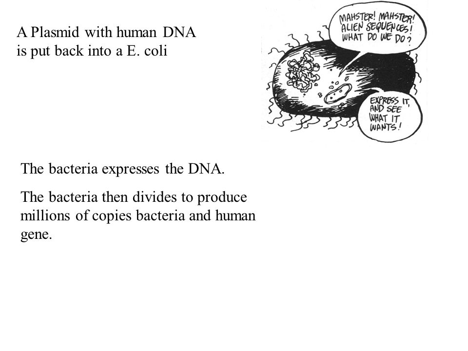 A Plasmid with human DNA is put back into a E. coli
