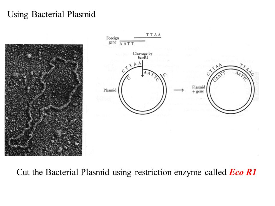 Using Bacterial Plasmid
