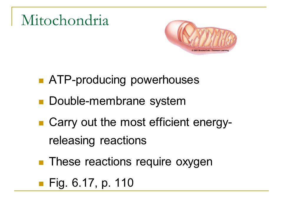 Mitochondria ATP-producing powerhouses Double-membrane system