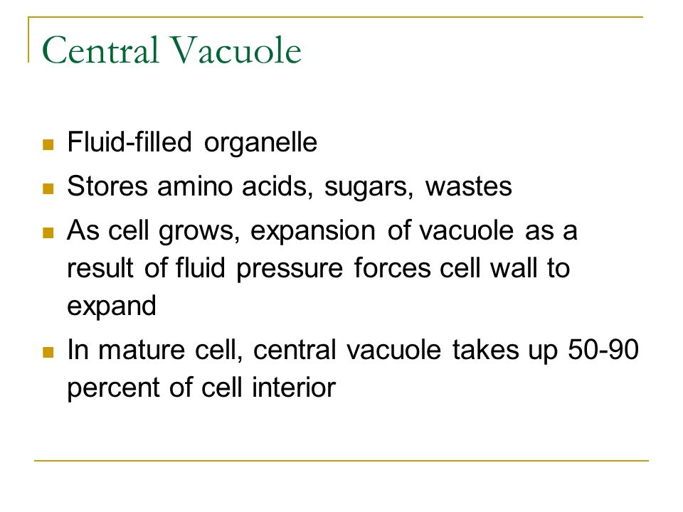Central Vacuole Fluid-filled organelle