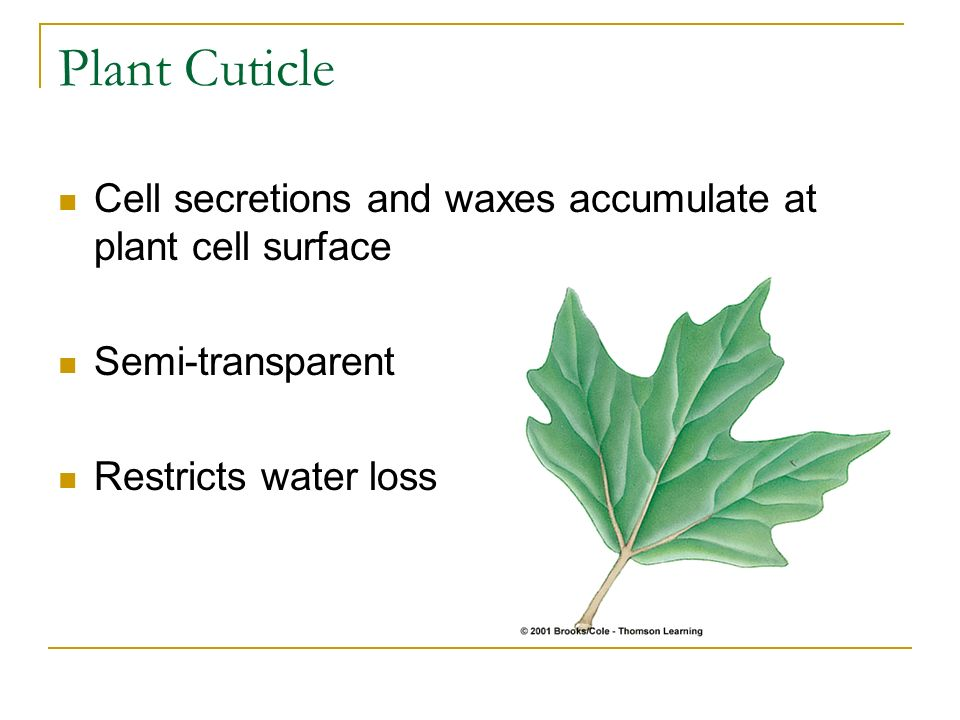 Plant Cuticle Cell secretions and waxes accumulate at plant cell surface.