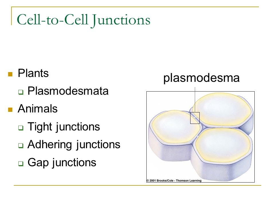 Cell-to-Cell Junctions