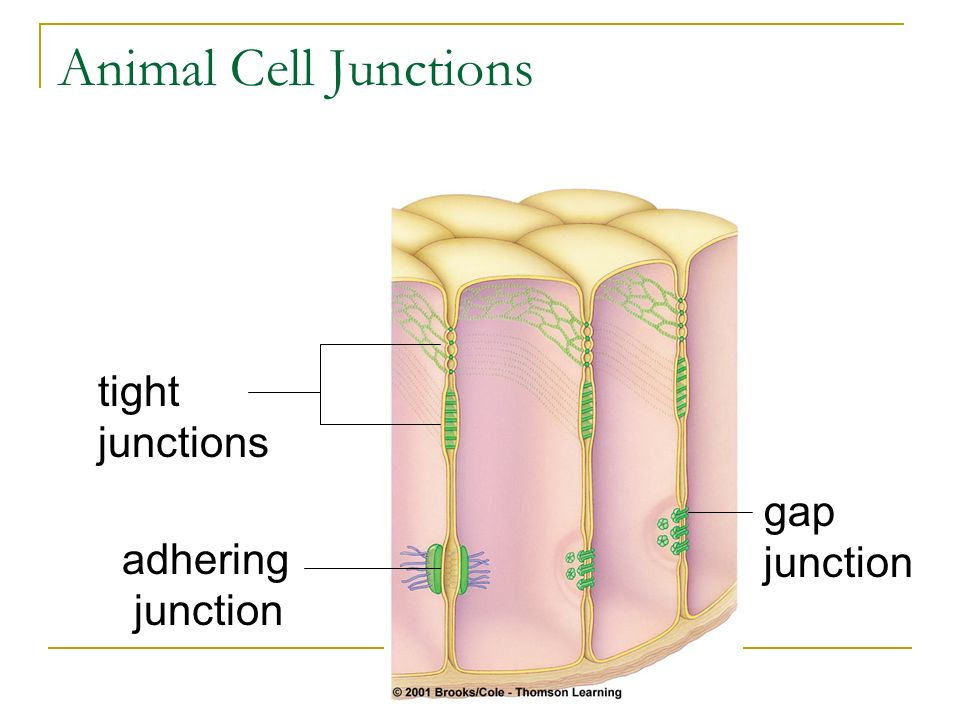 Animal Cell Junctions tight junctions gap junction adhering junction