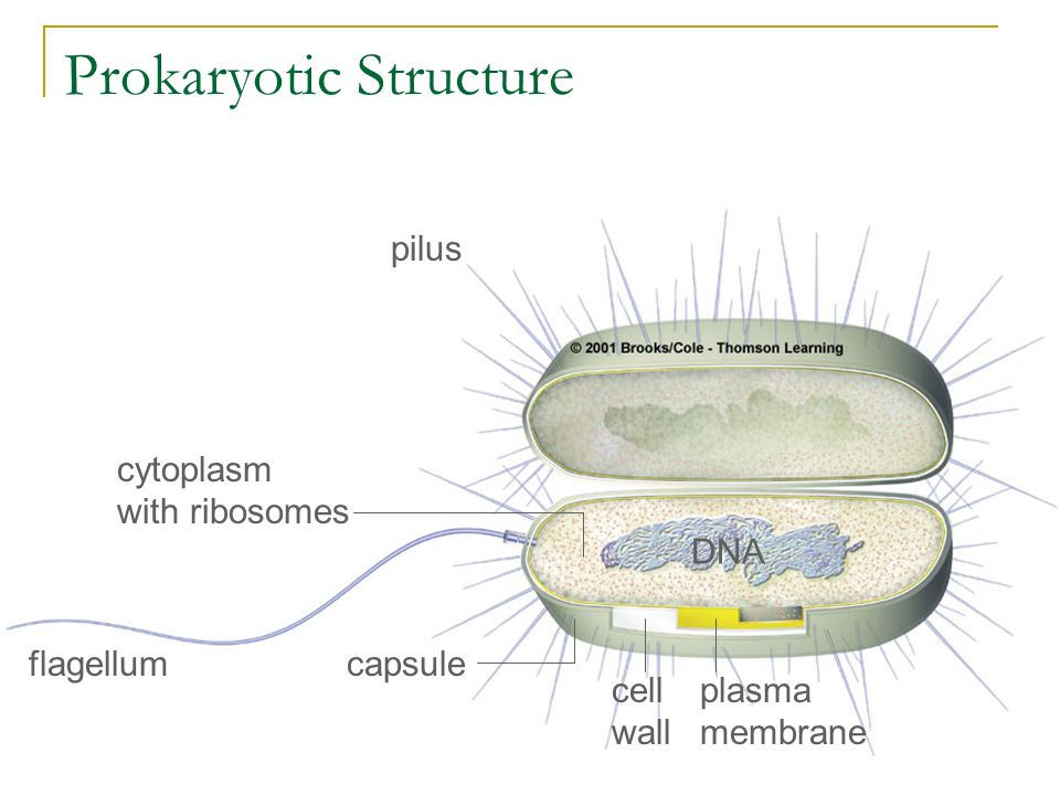 Prokaryotic Structure