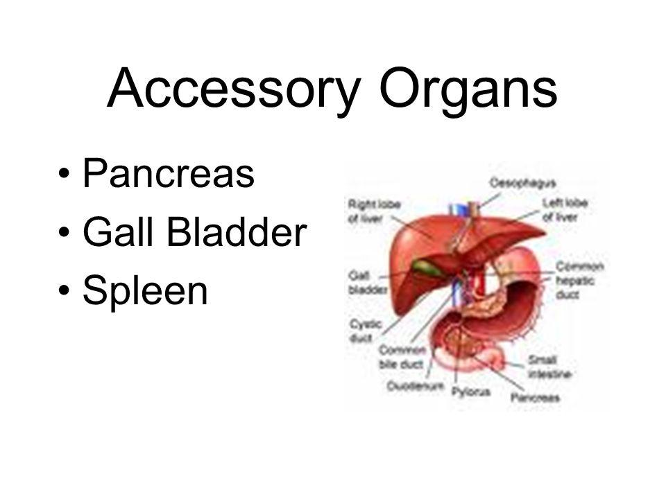 Accessory Organs Pancreas Gall Bladder Spleen