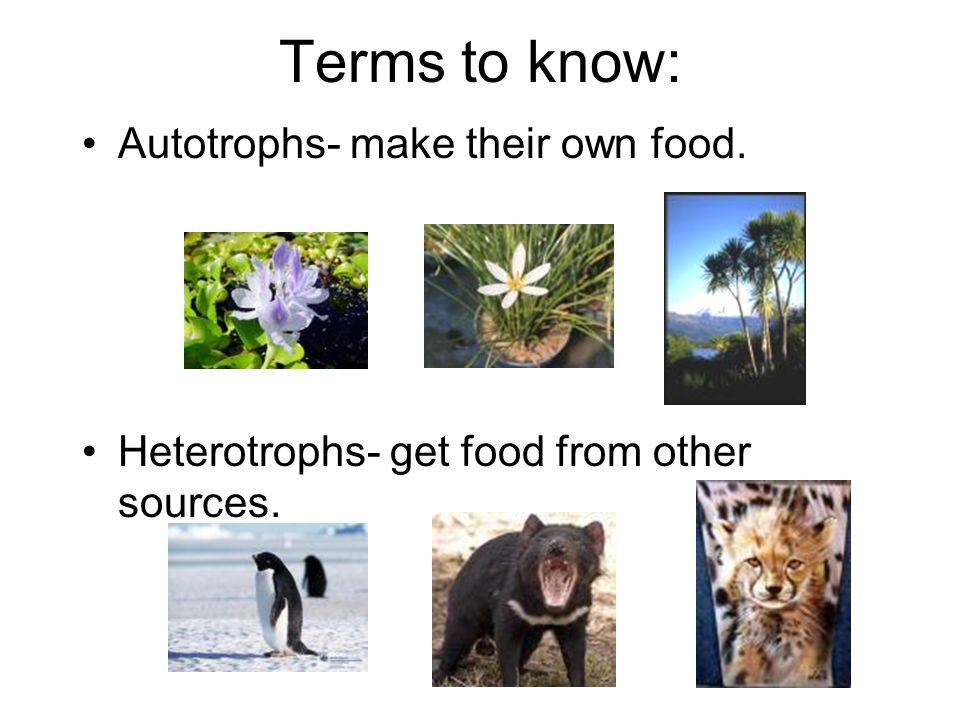 Terms to know: Autotrophs- make their own food.