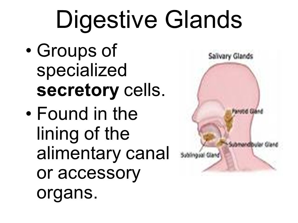 Digestive Glands Groups of specialized secretory cells.