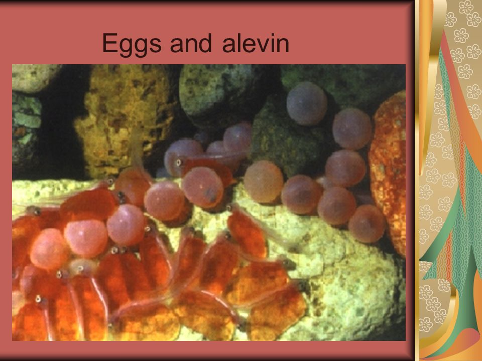 Eggs and alevin