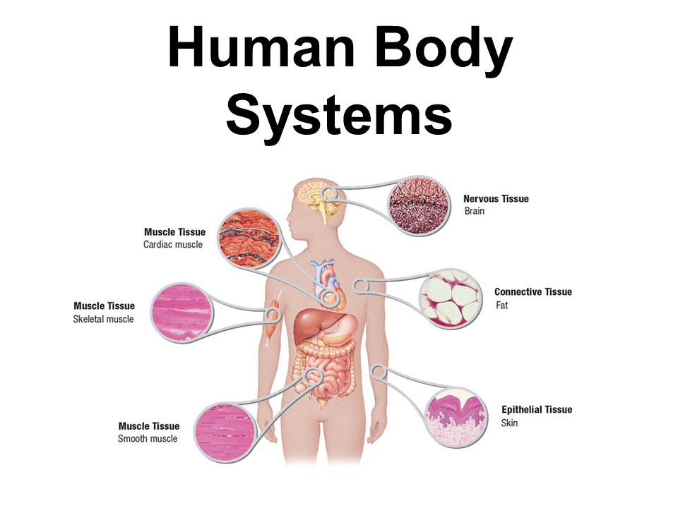 Human Body Systems – applecool.info