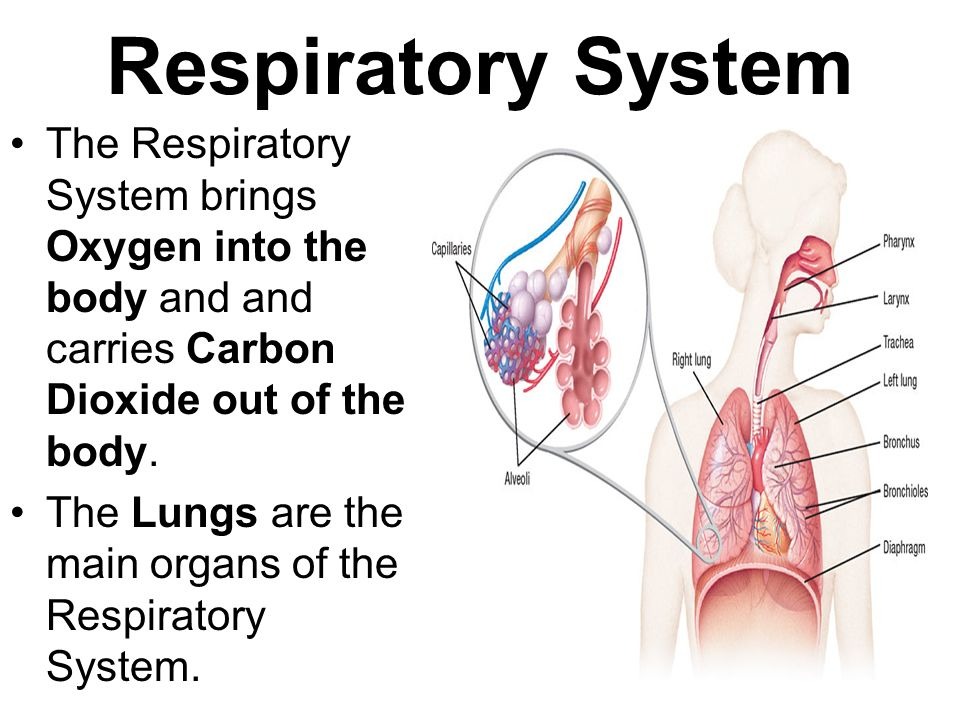Respiratory System The Respiratory System brings Oxygen into the body and and carries Carbon Dioxide out of the body.