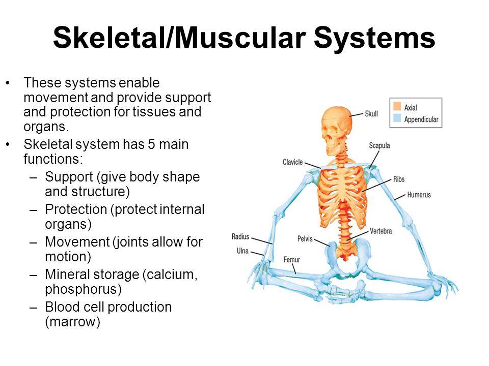 Skeletal/Muscular Systems