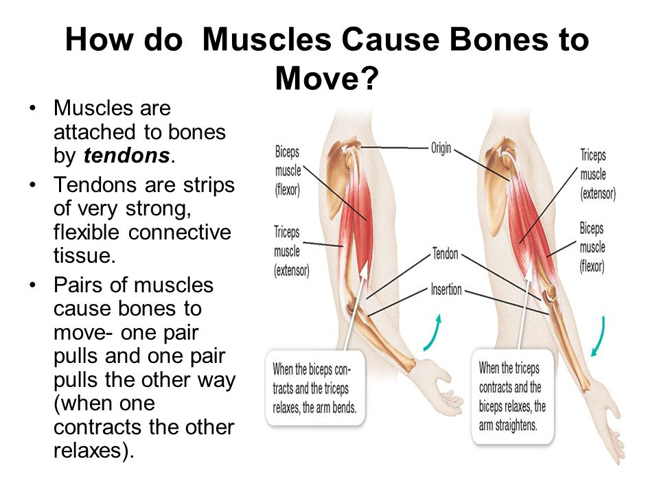 How do Muscles Cause Bones to Move