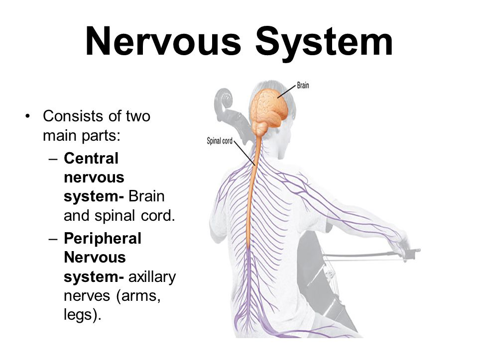 Nervous System Consists of two main parts: