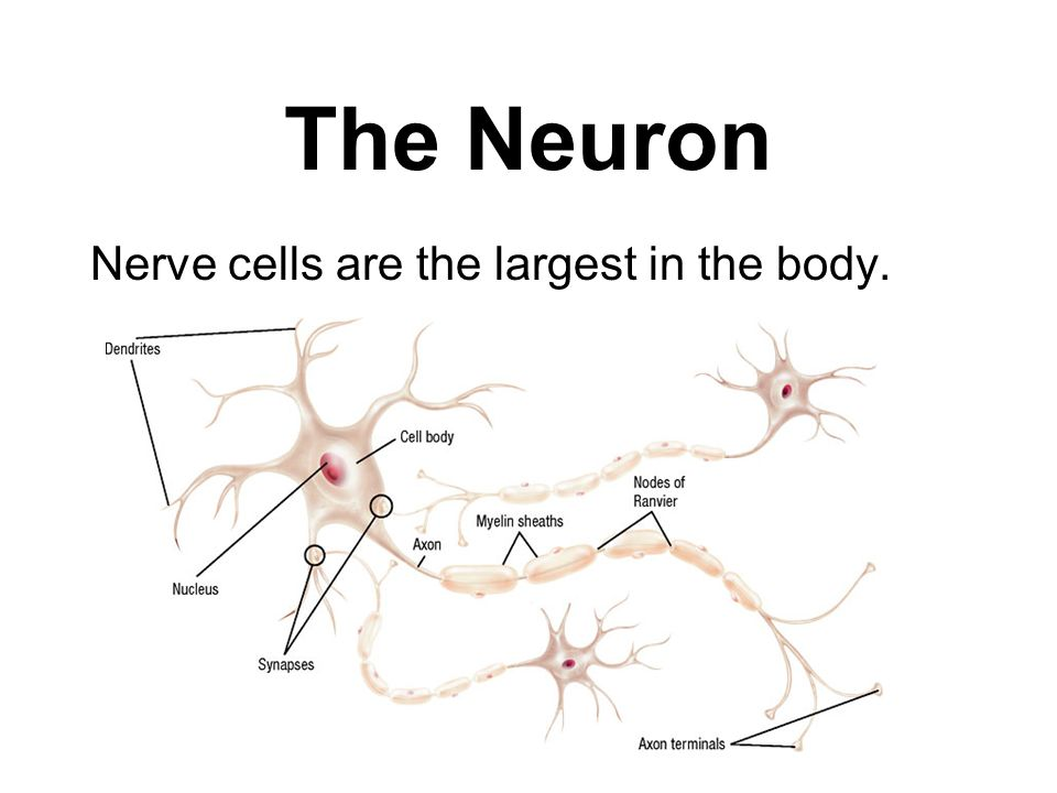 The Neuron Nerve cells are the largest in the body.