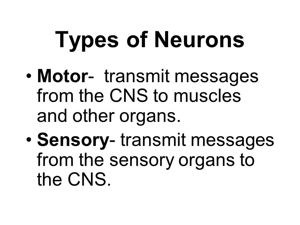 Types of Neurons Motor- transmit messages from the CNS to muscles and other organs.