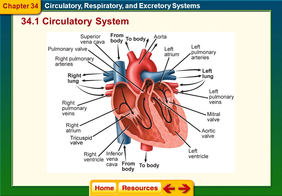 34.1 Circulatory System Chapter 34