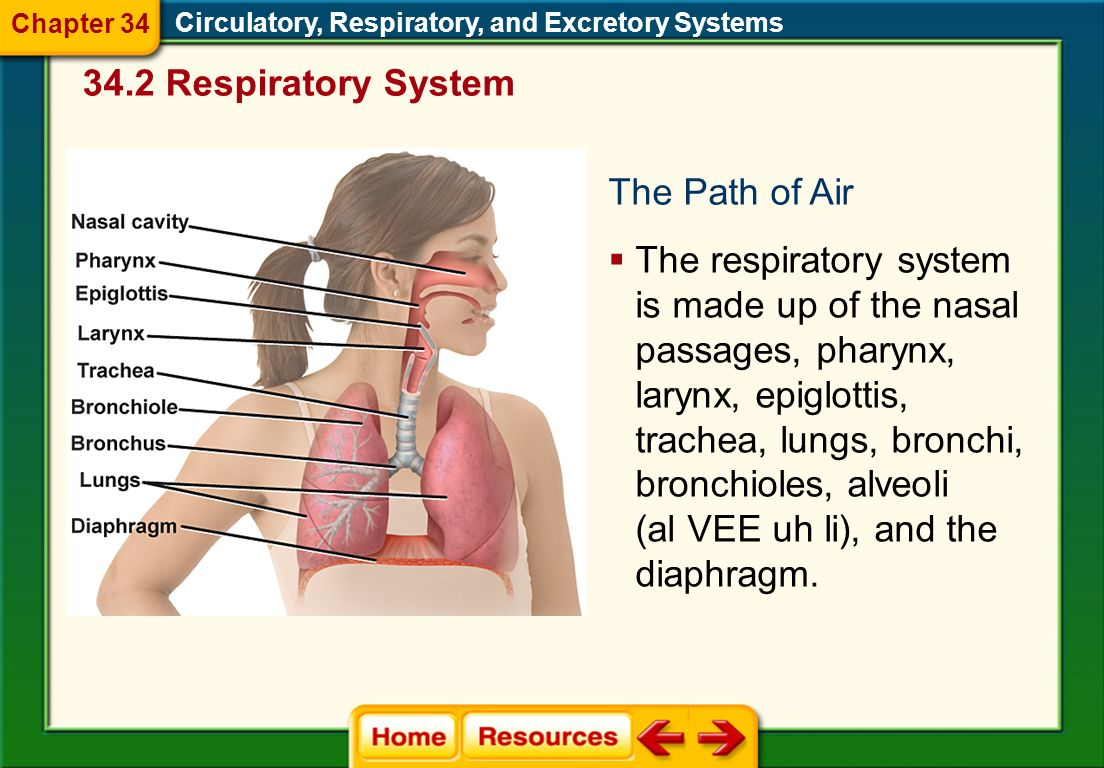 34.2 Respiratory System The Path of Air