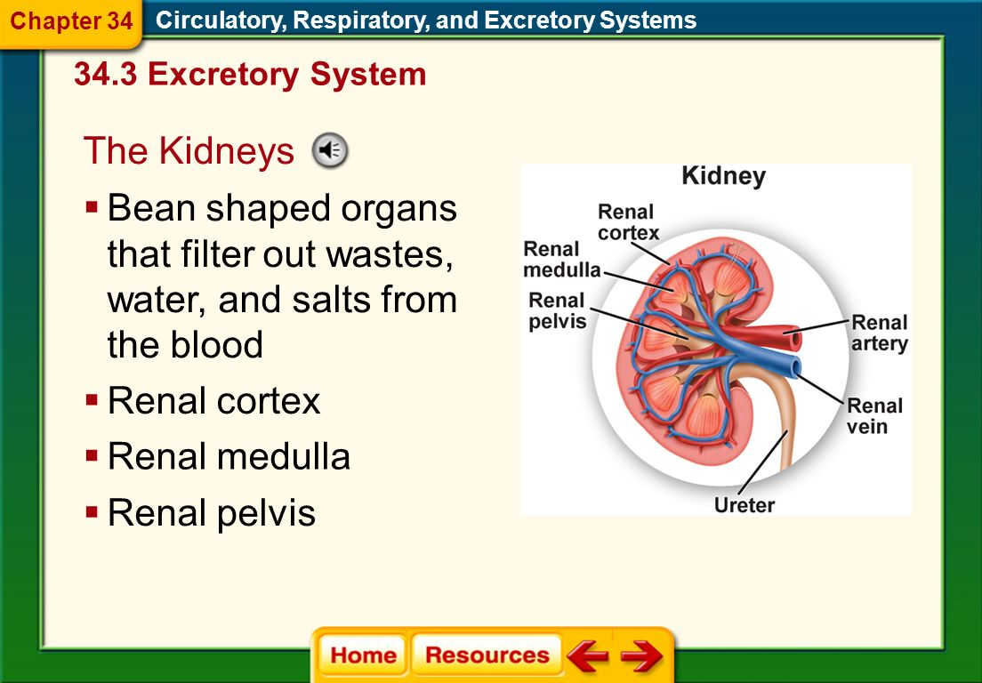 Chapter 34 Circulatory, Respiratory, and Excretory Systems Excretory System. The Kidneys.