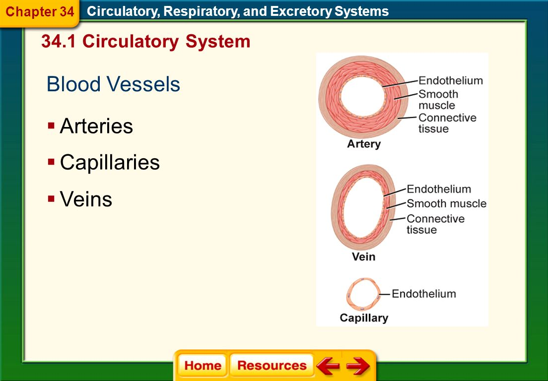 Blood Vessels Arteries Capillaries Veins 34.1 Circulatory System