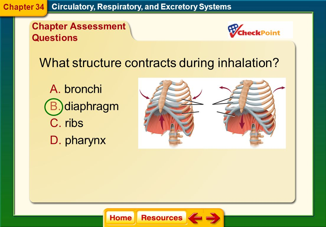 What structure contracts during inhalation